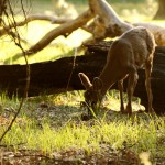 В йосемити олени кушают травку на каждом углу