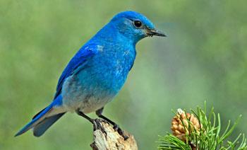 Голубая сиалия - символ штата Айдахо