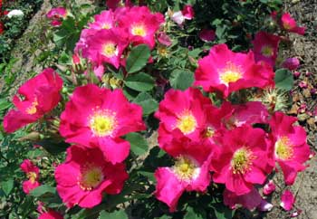 Дикая роза - символ штата Айова, США